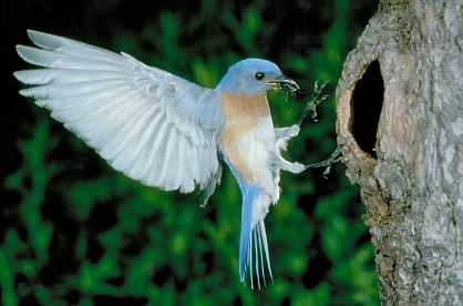 Eastern Bluebird at Nest Cavity