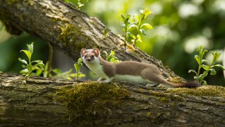 Ermine (Short-tailed weasel) in summer