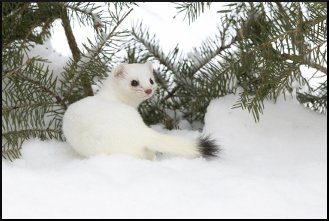Ermine (short-tailed weasel) in winter