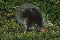 Hairy-tailed Mole
