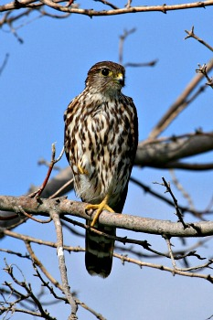 Female or Immature Merlin
