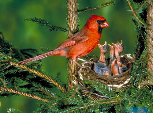 Male Northern Cardinal At Nest