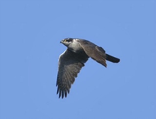 Northern Goshawk in Flight|