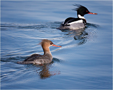 Red-breasted Merganser - Male and Female