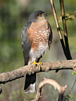 Sharp-shinned Hawk