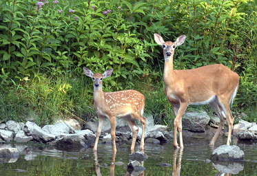 White-tailed Doe with Fawn