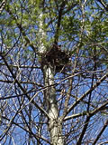 Nest in Tree