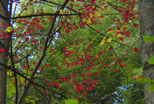 Red Foliage Against Evergreens