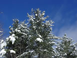 White Pine Trees with Snow